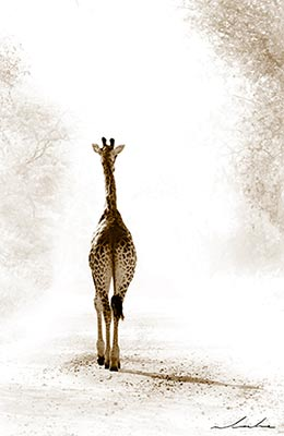 Into the Light giraffe photo by Warwick Locke